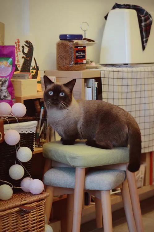 家庭寄养照看曼基猫
